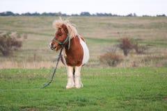Милый маленький пони пася в стороне страны Стоковая Фотография RF