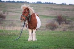 Милый маленький пони пася в стороне страны Стоковые Фотографии RF