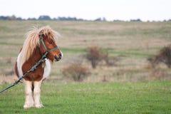 Милый маленький пони пася в стороне страны Стоковые Фото
