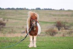 Милый маленький пони пася в стороне страны Стоковое Изображение