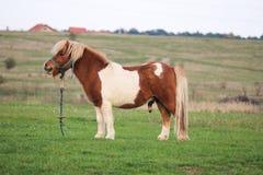 Милый маленький пони пася в стороне страны Стоковое Изображение RF