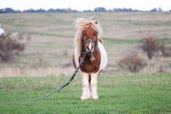 Милый маленький пони пася в стороне страны Стоковая Фотография