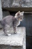 Милый маленький серый котенок идя на бетонные плиты outdoors Стоковое фото RF