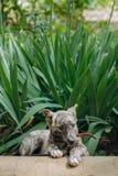 Милый маленький серый щенок при воротник сидя в траве и сдерживая l стоковое фото