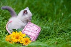 Милый маленький сиамский котенок в корзине стоковая фотография