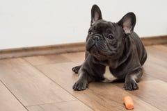 Милый маленький французский щенок buldog стоковое изображение