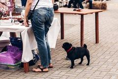 милый маленький черный мопс при предприниматель смотря таблицу еды с swee стоковые фотографии rf