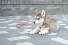 Милый маленький щенок сибирской лайки внешний стоковое изображение