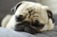 Милый малый утомленный мопс породы собаки спать на софе стоковая фотография rf