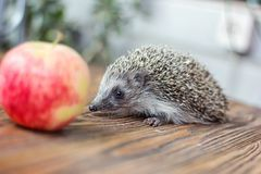 Милый молодой смешной еж, albiventris Atelerix, стоит около яблока Очаровательные колючие европейские albiventris ежа ежа дальше Стоковое Фото