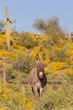 Милый одичалый Burro в пустыне Стоковые Изображения