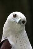 милый орел стоковые фото