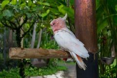 Милый пинк Cackatoo стоковая фотография