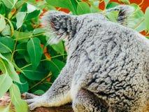Милый портрет медведя коалы Стоковое фото RF