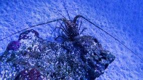 Милый пряча омар с темной раковиной стоковое фото rf