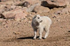 Милый ребенк козы горы Стоковые Изображения