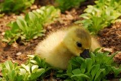 милый салат гусенка еды Стоковые Изображения