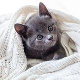 Милый серый котенок обернутый в белизне связал одеяло Стоковые Изображения RF