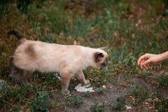Милый серый кот идя к руке женщины в парке одичалый красивый кот Стоковая Фотография