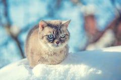 Милый сиамский кот в глубоком снеге стоковое фото