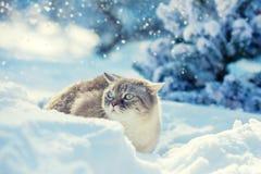 Милый сиамский кот распологая в глубокий снег стоковая фотография rf