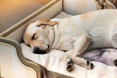 Милый спать Retriever Лабрадора стоковые фото