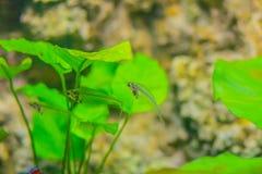 Милый стеклянный сом (vitreolus Kryptopterus), известный в aquari Стоковая Фотография