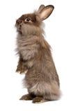 Милый стоящий кролик зайчика lionhead шоколада Стоковая Фотография