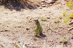 Милый суслик в пустыне Закройте вверх по взгляду каньон грандиозный Стоковая Фотография