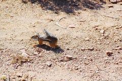 Милый суслик скача в пустыне Закройте вверх по взгляду каньон грандиозный Стоковое Изображение