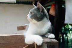 Милый тайский кот Стоковые Фотографии RF