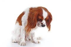 Милый унылый более dogcavalier щенок собаки spaniel короля Карла на белой предпосылке студии Щенок собаки с унылой стороной Стоковое Фото