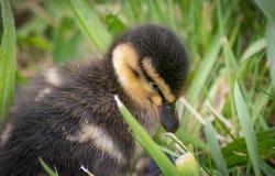Милый утенок в траве Стоковая Фотография