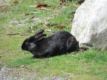 Милый черный кролик зайчика на траве на предыдущем после полудня весны на пляже Иерихона, Ванкувере, марте 2018 Стоковые Фото