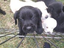 Милый черный щенок Лабрадор взбираясь на загородке стоковое фото rf