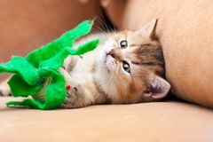 Милый шаловливый великобританский котенок лежит на софе с игрушкой стоковые изображения