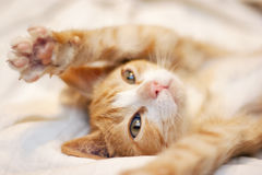 Милый шаловливый померанцовый котенок Стоковые Фотографии RF