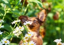 Милый щенок обнюхивает белые цветки на улице Портрет рыжеволосой смешной собаки на предпосылке стоцветов Стоковые Фотографии RF