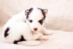 Милый щенок сибирской лайки сидя на софе дома стоковое изображение rf