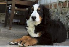 Милый щенок собаки горы Bernese лежа Outdoors и смотря камеру Стоковые Фото