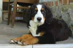 Милый щенок собаки горы Bernese лежа Outdoors и смотря камеру Стоковое Изображение RF
