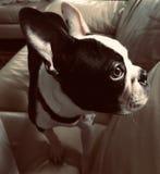 Милый щенок, терьер Бостона стоковое изображение