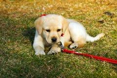 милый щенок Стоковое Фото