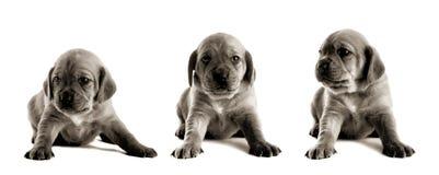 милый щенок Стоковое Изображение RF