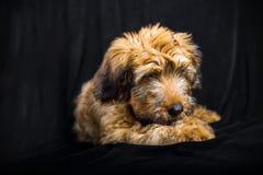 Милый щенок briard на черной предпосылке Стоковые Изображения