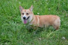 Милый щенок corgi welsh Пембрука стоит в зеленой траве Домашние животные Стоковая Фотография