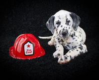 милый щенок dalmatia Стоковые Изображения RF