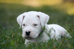 Милый щенок Dogo Argentino лежит в траве Стоковое фото RF