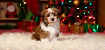 Милый щенок Havanese перед рождественской елкой стоковая фотография rf
