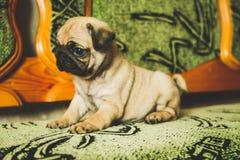 Милый щенок pug стоковые фото